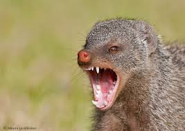 Mongoose are scary jerks.
